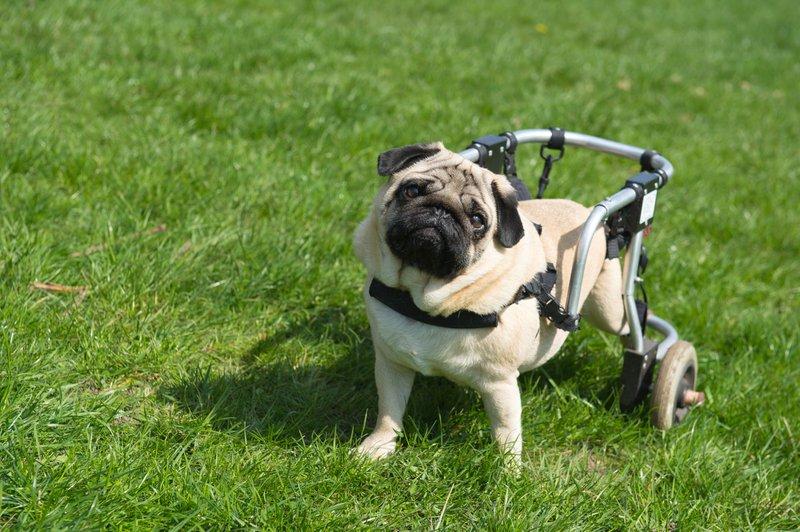 dog paralysis