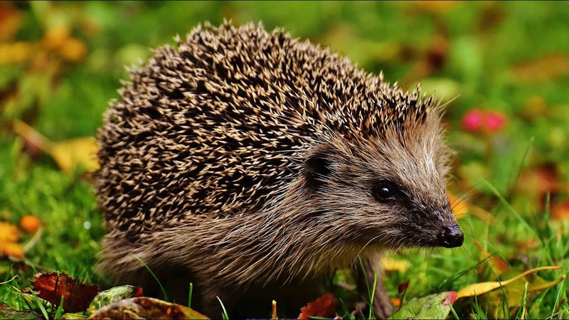 Hedgehog Enjoying Half Term In Norfolk